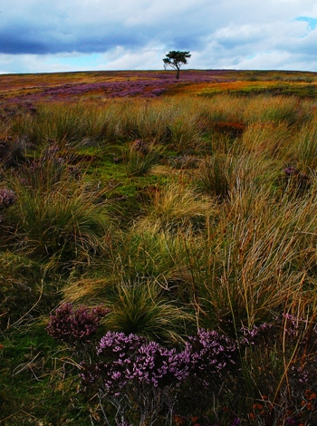 Heather, Kildale, North Yorkshire